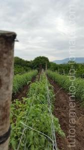 HORTOMALLAS, tutoramento do tomate, rede de tutoramento, malha  tutoramento, malha apoio, malha treliça, hortaliças, ráfia, rede apoio, malha dupla, tomate, túnel do tomate, fio para condução
